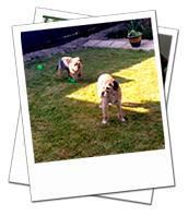 Billy and Ronnie enjoying the garden on their Wiltshire dog holiday