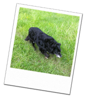 Bonnie enjoys a walk with Wagging Tails home dog boarding