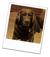 Labrador Dennis on his Windsor dog boarding holiday