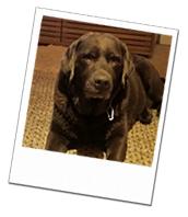 Labrador Dennis on his Windsor dog boarding holiday