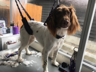 Pickles the Spaniel pre groom with Totally Mutts, Maidenhead