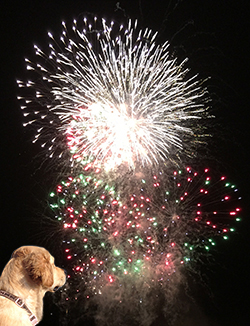 Golden Retriever watching Fireworks