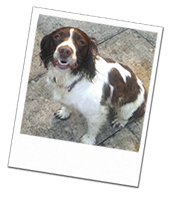 Isla the Springer Spaniel on her East Sussex dog boarding holiday