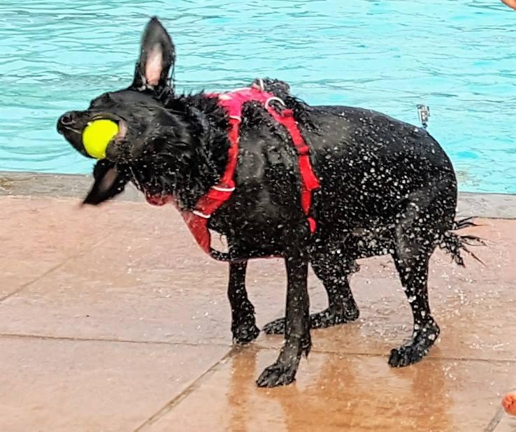 Dog with ball at Sandford Parks Lido Dog Swim