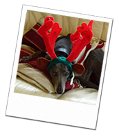 Monty enjoying his Christmas dog holiday in Surrey with Wagging Tails