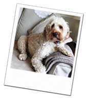 Humphrey relaxing on the sofa on his Berkshire dog holiday