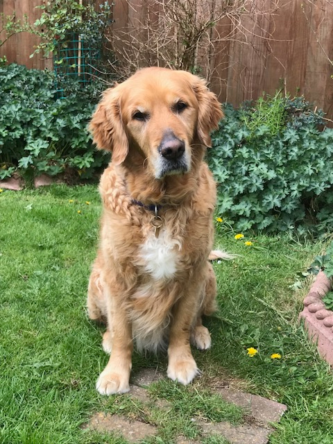 Retired Guide Dog Quin has returned to Shirley and her family.