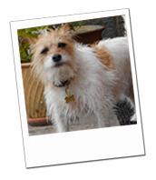 Jack Russell, Saffie, enjoying her dog holiday with Devon Dog Carer Pat