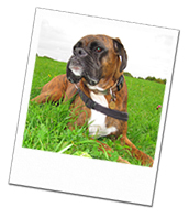 Alfie the Boxer looking regal on his Wiltshire dog boarding holiday