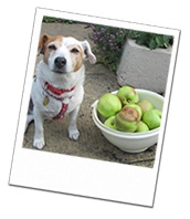 Katie enjoying helping to collect apples on her Wiltshire dog holiday