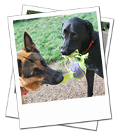 Merlot enjoying playtime on her doggy holiday in Swindon