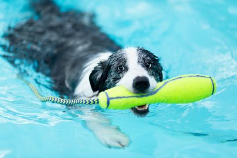 A Collie swimming at Sandford Parks Lido Dog Swim